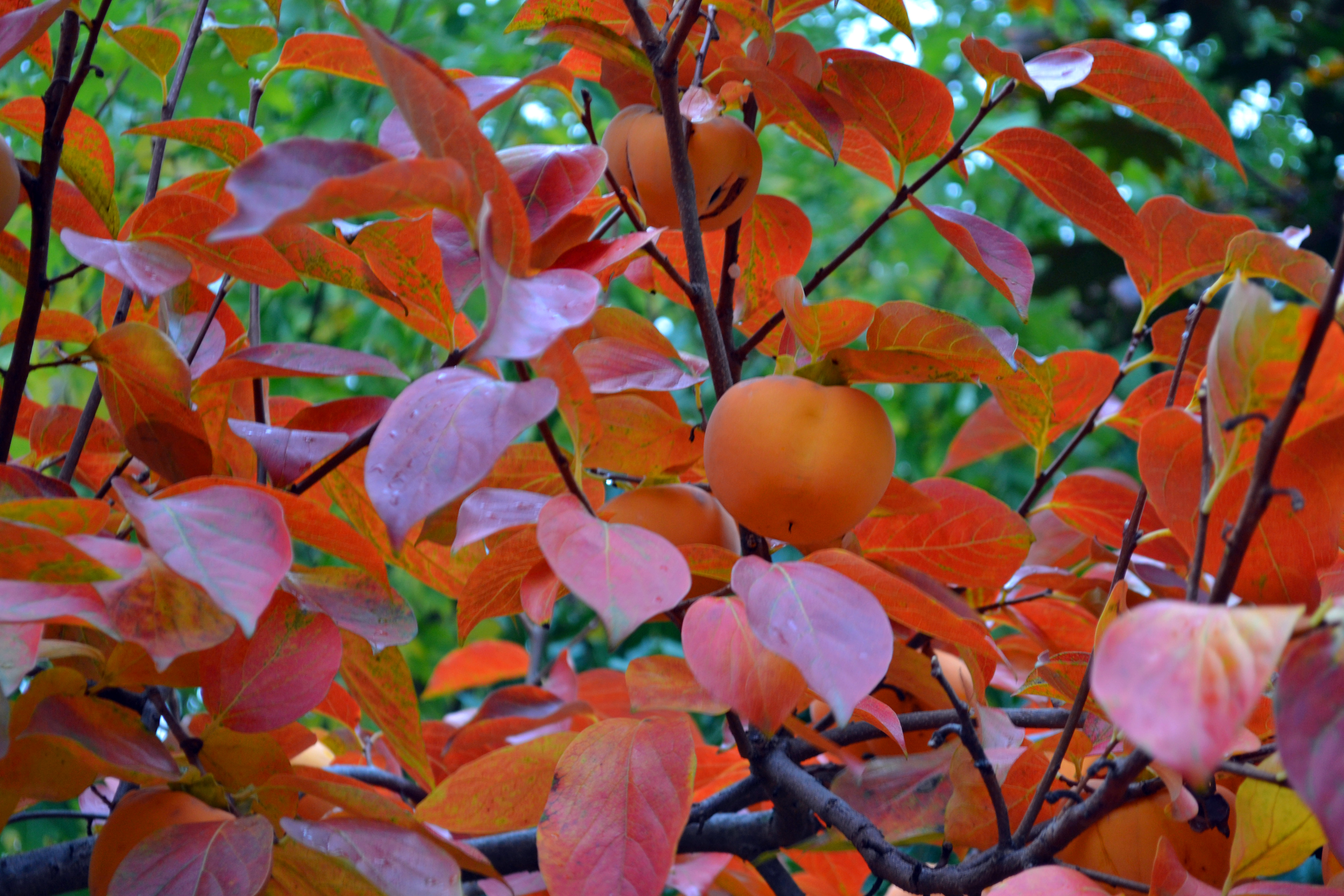 how to say persimmon in japanese